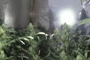 Close to 250 cannabis plants have been seized from an address in Strood
