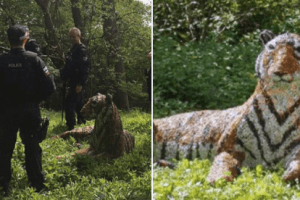 ten armed officers and a police helicopter were called out after walkers saw a tiger resting in woodland in sevenoaks