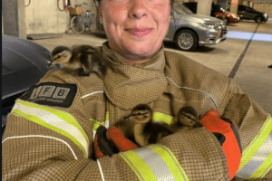 quacking effort from firefighter who rescued some ducklings 2