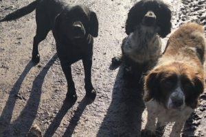 a black coloured spingador a liver coloured cocker spaniel with a white chest and two liver and white coloured springer spaniels were stolen