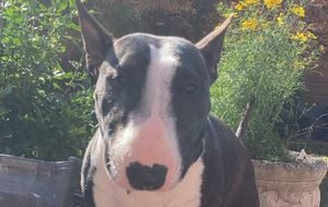 the owner has said that as bella is a minature bull terrier she can be mistaken for a puppy